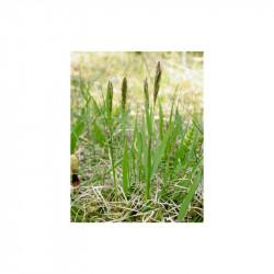 herbe sacrée